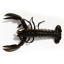 Les crustacés de qualité : Hommard