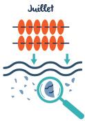 Huitres Thaeron France - Coupelles collecter naissains naturellement dans l'eau