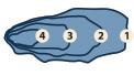 Huitres Thaeron France - Le calibrage n'est pas définit par la taille mais par le poids